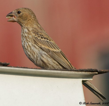 Sparrow on a Hot Tin Roof