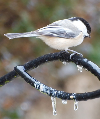 Chickadee Atop Frozen Feeder