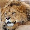 Serene Lion
