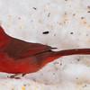 Mr. Cardinal Returns