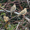 Mourning Doves in a Tree