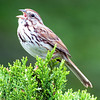 Vocal Sparrow