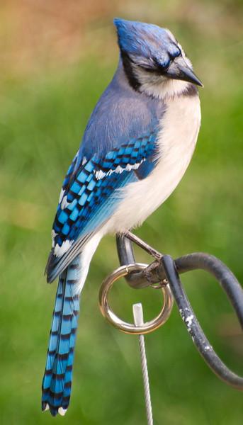 One of Many Bluejays