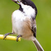 Chickadee Dining on Seed