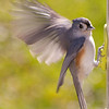 Angelic Titmouse