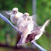 Papa Finch & Babies?