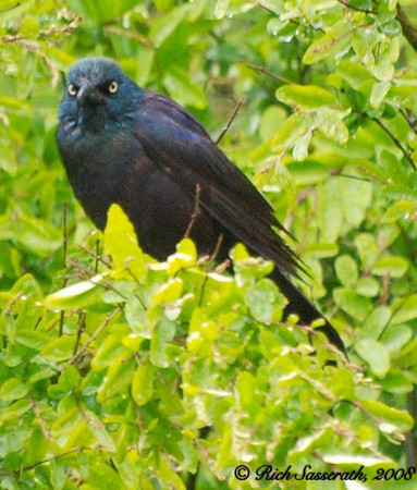 Grackle in Bushes a Distance Away