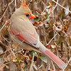 Female Cardinal in Bushes