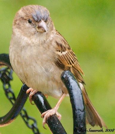 Sparrow on the Feeder in the Rain