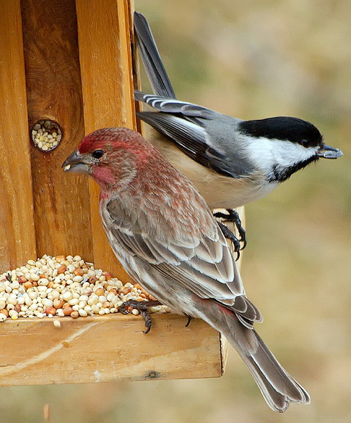 Finch & Chickadee
