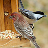 Finch & Chickadee