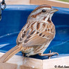 Sparrow About to Bathe