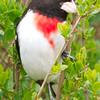 Male Rose-Breasted Grosbeak