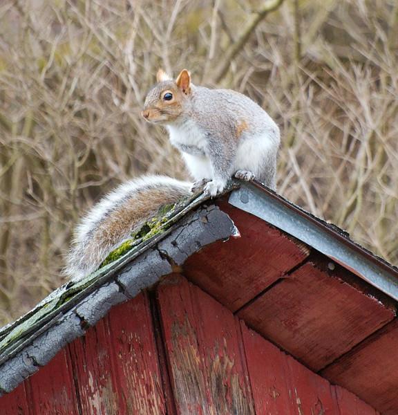 Profile of adventurous squirrel