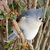 Tufted Titmouse Fluffed for the Cold