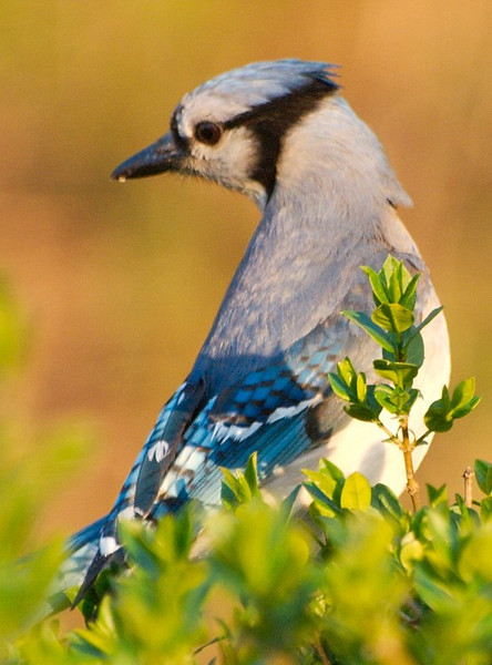 Bluejay in Bushes