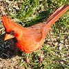 Male Cardinal Scrounging on the Ground