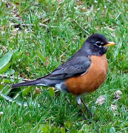 American (Northeast) Robin