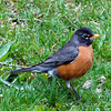 American (Northeast) Robin