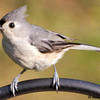 Tufted Titmouse Returns