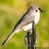 Tufted Titmouse with Seed in Beak