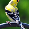 goldfinch09