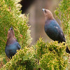 Brown-Headed Cowbirds!