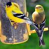 goldfinch017