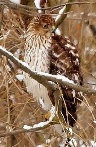 Hawk Far Away (@300mm Zoom)