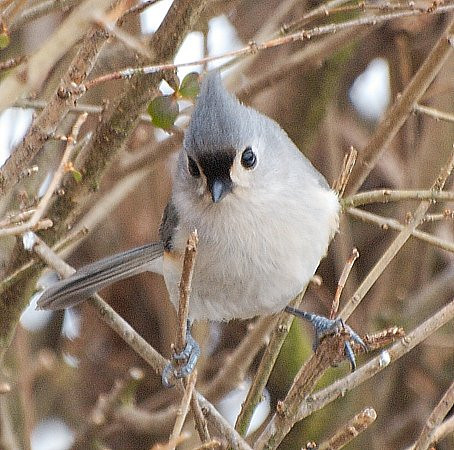 Lil' Titmouse in the Bushes