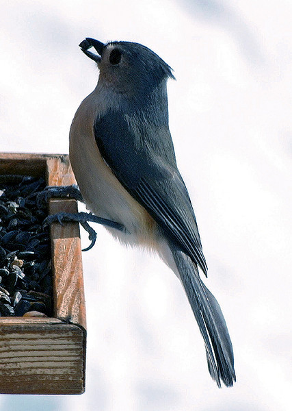 Upright Tufted Titmouse With Seed in Beak