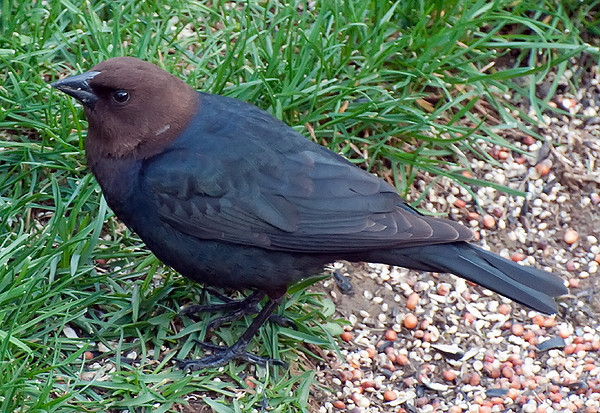 The Cowbirds Are Back!