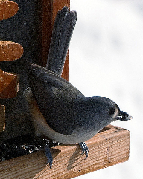 Contorted Tufted Titmouse With Seed