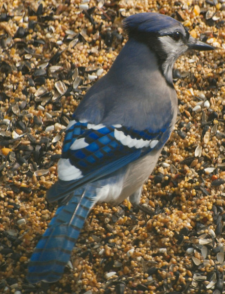 Bluejay is More Sociable