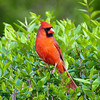 Male Cardinal in Bushes