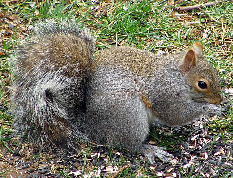 PITA Squirrel