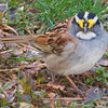 Really, He's a White-Throated Sparrow