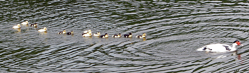 Momma Duck and Her Ducklings in Tow