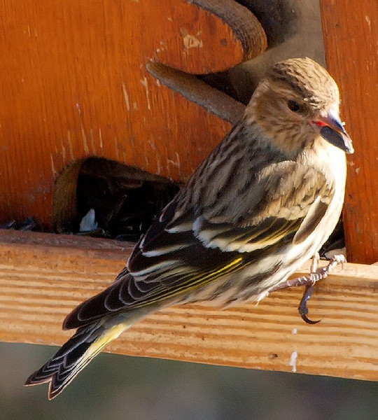 Pine Siskin with Seed