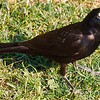 Grackle With Beak Open