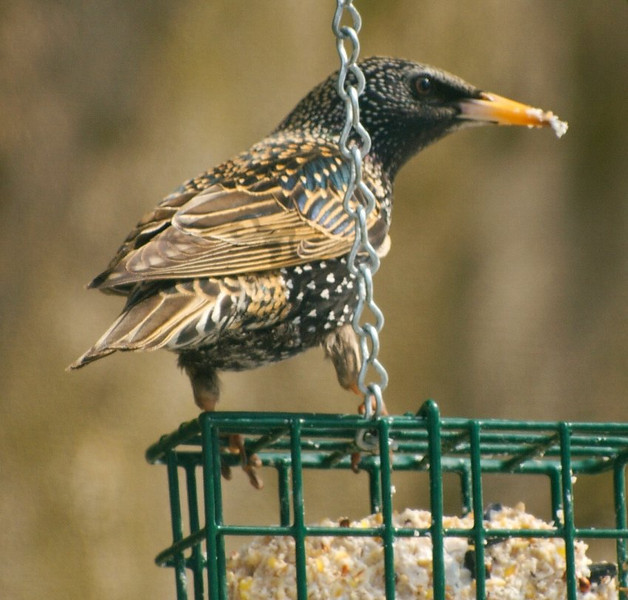 Starling Enjoying Suet