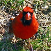 Mr. Cardinal in the Grass