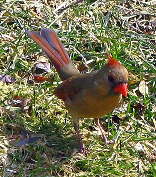 Mrs. Cardinal Upright