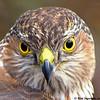Cooper's Hawk (Cropped)