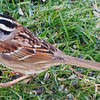 White-Throated Sparrow?