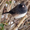 Junco Frontal