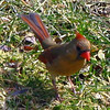 Mrs. Cardinal Upright