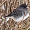 Junco Trying to Stay Warm