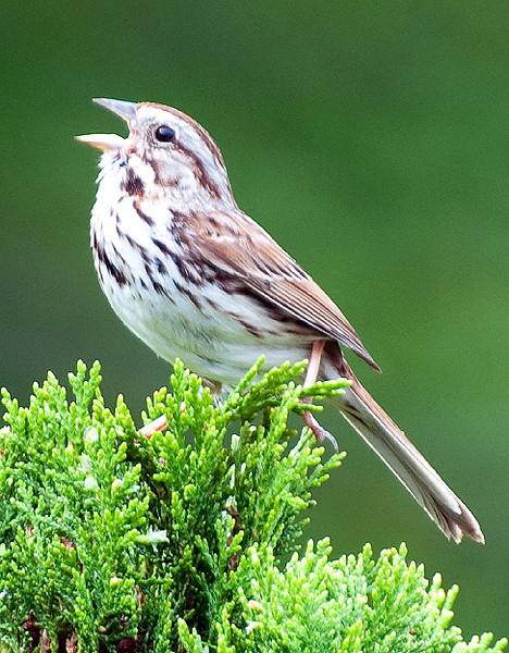 Opera Bird Redux