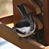 Chickadees Rule!